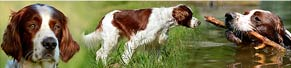 1 Irish Red and White Setter (3 Jahre) (17.06.2013)