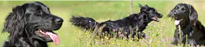 1 Flat Coated Retriever (2 Jahre) (01.08.2013)