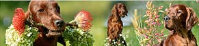 3 Irish Red Setter (02.10.2013)