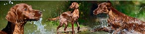 2 Irish Red Setter (02.10.2013)