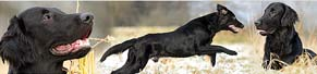 1 Flat Coated Retriever (11 Monate) (29.01.2014)