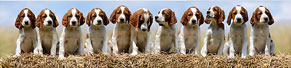 11 Irish Red and White Setter Welpen (7 Wochen) (17.06.2014)
