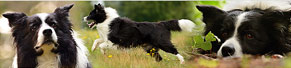 1 Border Collie (5 Jahre) (26.07.2014)