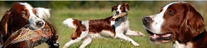 1 Irish Red and White Setter (5 Jahre) (04.10.2014)