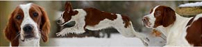 2 Irish Red and White Setter (8 Monate und 2 Jahre) (01.01.2015)