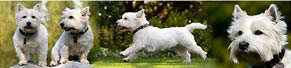2 West Highland Terrier (18.04.2015)