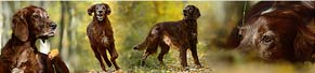 1 Irish Red Setter (8 Jahre) (24.10.2015)