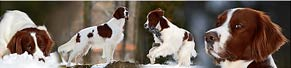 1 Irish Red and White Setter (3 Jahre) (26.02.2016)