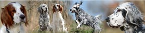 1 Irish Red and White Setter (4 Jahre) und 1 English Setter (5 Jahre) (03.04.2016)
