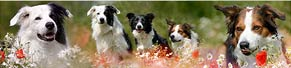 3 Border Collies (2, 10, 12 Jahre) (27.06.2016)