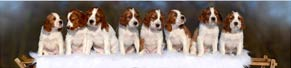 8 Irish Red and White Setter-Welpen (6 Wochen) (19.01.2017)