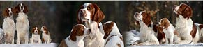 Irish Red and White Setter-Welpen mit den Eltern (19.01.2017)
