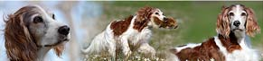 1 Irish Red and White Setter (12 Jahre) (29.03.2017)