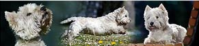 1 West Highland Terrier (10 Jahre) (30.04.2017)