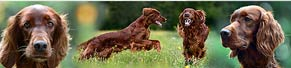 2 Irish Red Setter (3 Jahre) (04.08.2017)