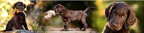 1 Flat Coated Retriever (9 Wochen) (14.10.2017)