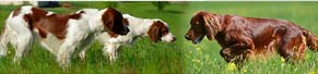 2 Irish Red and White Setter u. 1 Irish Setter (Mai 2012)